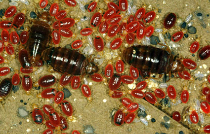 Различные стадии развития клопов: яйца, нимфы, взрослые насекомые.