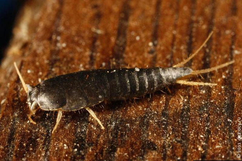 мокрица насекомое в квартире фото
